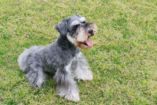Perros del grupo 2: clasificación de razas según la FCI