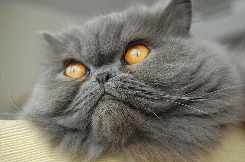 Cuáles son las razas de gato más populares