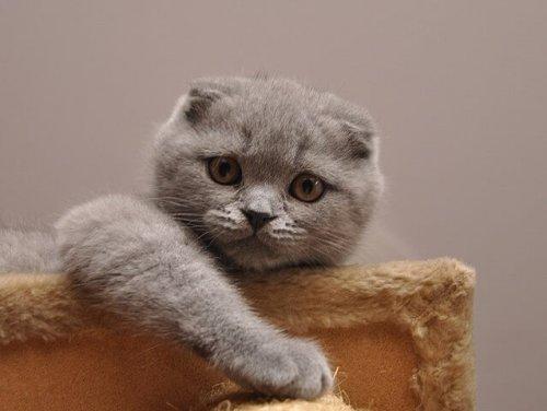 Scottish fold, el gato más tierno