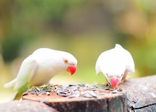 Semillas para pájaros domésticos: tipos y recomendaciones