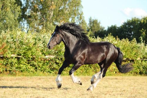 Caballo shire negro cabalgando