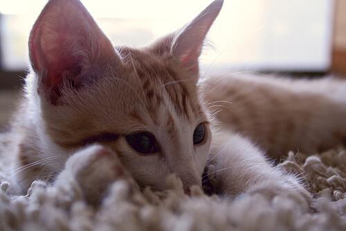 Sonidos en los gatos: qué significan