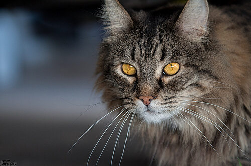 ¿Qué sabemos sobre la visión nocturna en gatos?