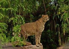 Leopardo en el oologico de buenos aires