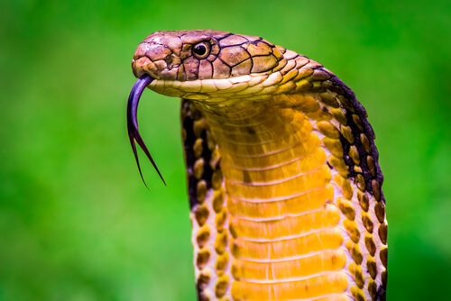 Cobra rey sacando la lengua