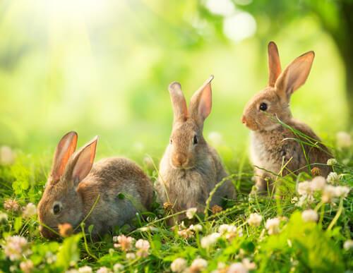 Animales vivíparos: conejo.