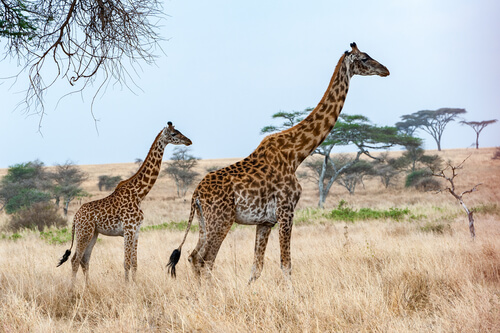 Animales vivíparos: jirafa.