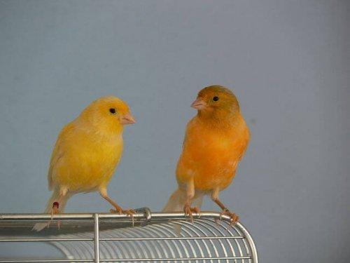 Dos canarios encima de una jaula
