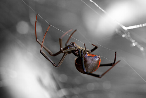 8 arañas más peligrosas del mundo