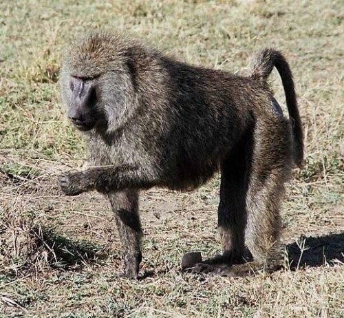 Mono babuino comiendo