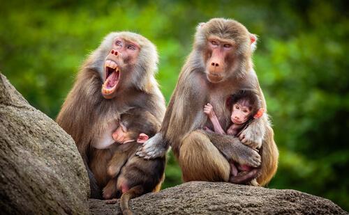 Babuino: características, comportamiento y hábitat