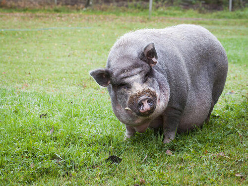 Pot-bellied pig as a pet.