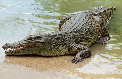 Cocodrilos: el gran reptil