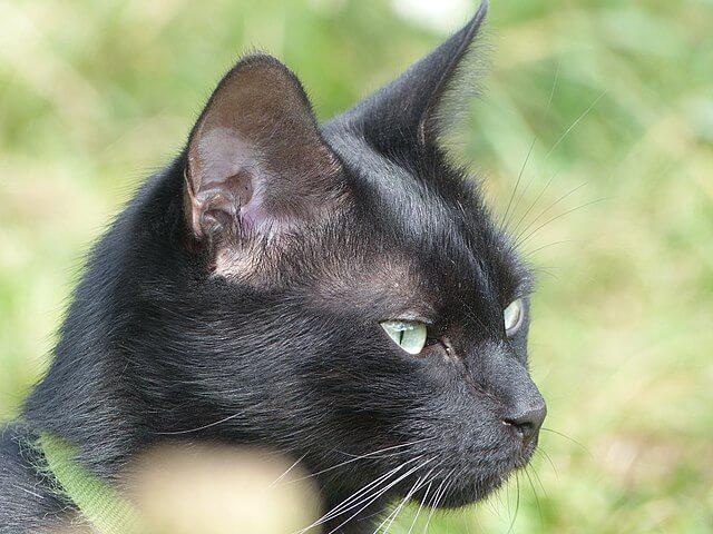 Cabeza de un gato negro