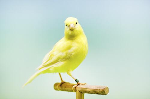 Un canario posando encima de un palo