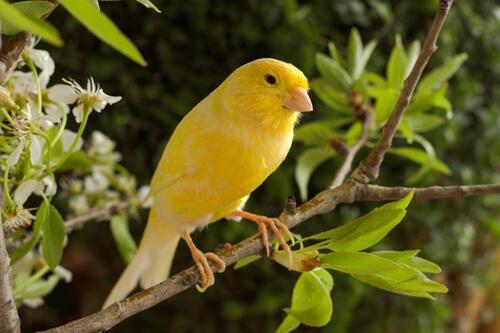 Canario amarillo posado en una rama