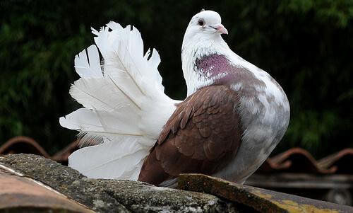 Cuidar a tus palomas