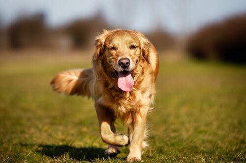 Resultado de imagen para displasia de codo en perros