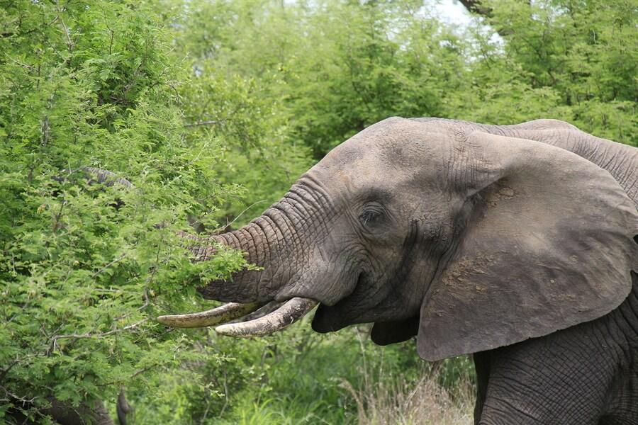 El elefante es un animal herbívoro