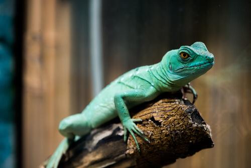 El lagarto en una rama