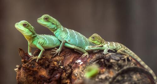 Una mascota curiosa: el lagarto