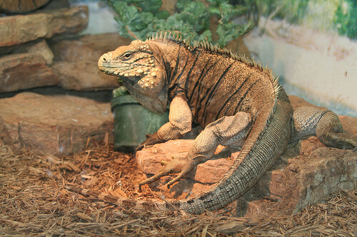 Enfermedades de la iguana