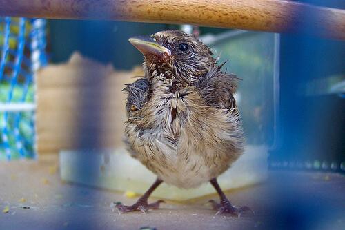 Enfermedades de pájaros en cautividad