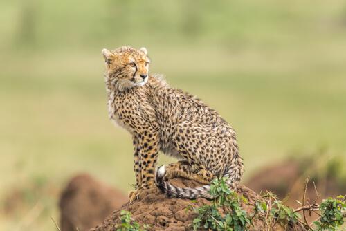 8 especies de felinos