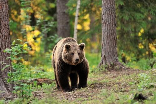 Especies de osos