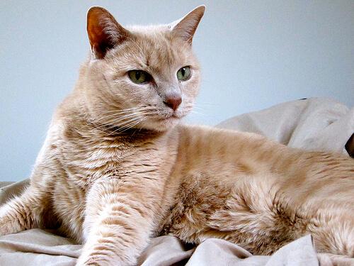 ¿Por qué esterilizar a tu gato?