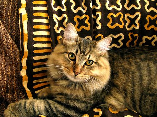 Gato bobtail americano tumbado