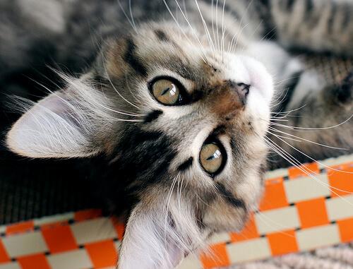 Gato bocarriba