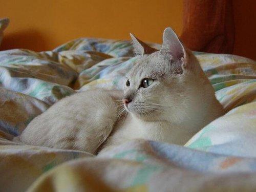 Gato burmilla en la cama