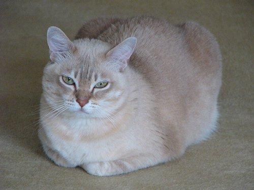Gato burmilla tumbado
