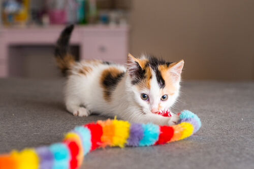 Cachorro de gato calico jugando