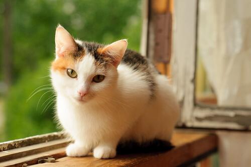Gato calicó