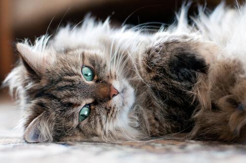 Gato siberiano tumbado