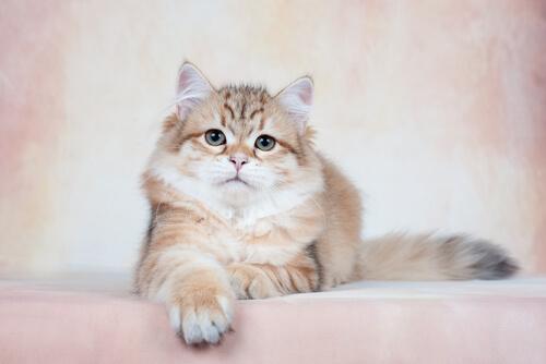 Cria de gato siberiano