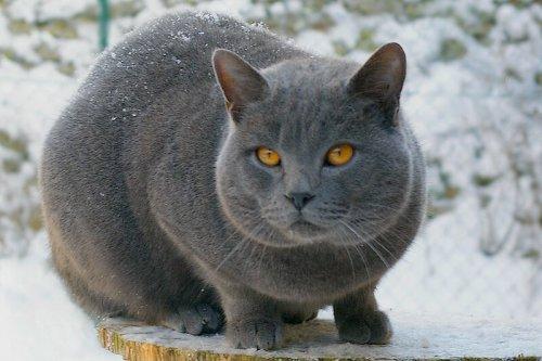 Razas de gatos de pelo corto