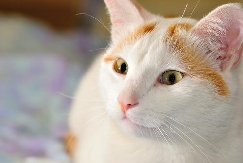 Gatos del grupo I: clasificación de razas según la FIFe