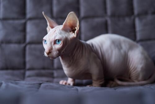 Cómo cuidar a un gato sin pelo