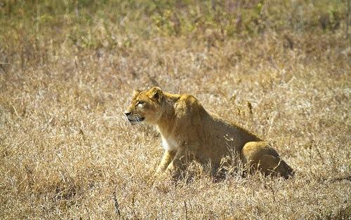 ¿Cómo cazan los grandes felinos?