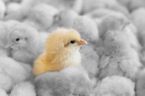 Gripe aviar: impacto en las granjas avícolas