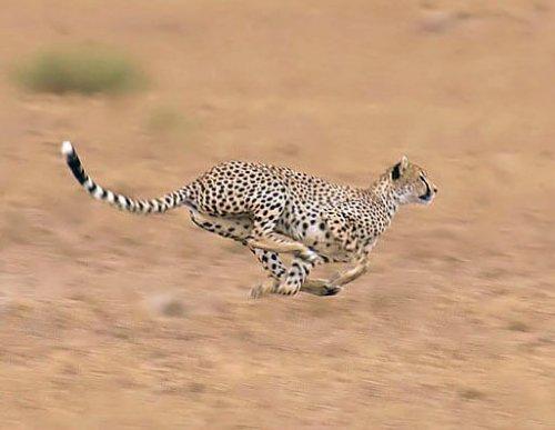 Guepardo corriendo