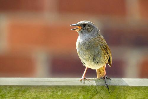 Identificar pájaros por su canto
