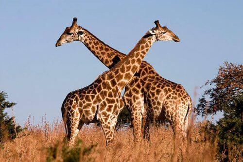 Jirafas en la sabana africana.