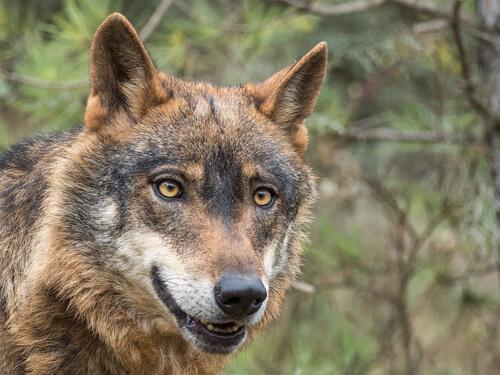 El lobo ibérico en peligro de extinción