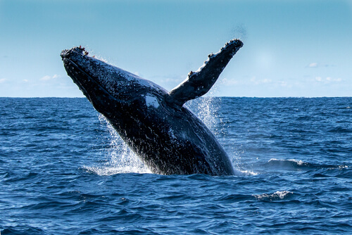Una ballena jorobada le salva la vida a una buceadora