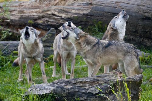 El comportamiento de una manada de lobos