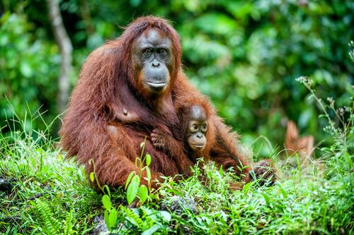 Orangutan con su cria